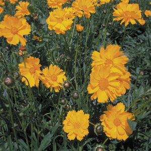 Coreopsis, Lance-Leaved (pack)
