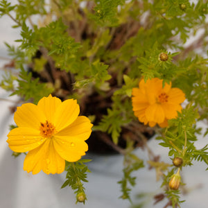 Cosmos, Yellow (pack)