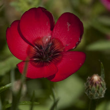 Load image into Gallery viewer, Flax, Scarlet (1/4 lb)