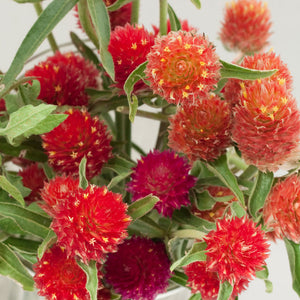 Renee's Garden Globe Amaranth, Mardi Gras Parade (Heirloom)