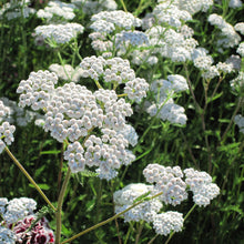 Load image into Gallery viewer, Yarrow, White (1/4 lb)