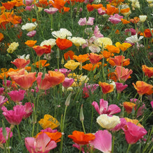 Load image into Gallery viewer, California Poppy, Mission Bells (lb)