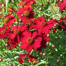 Load image into Gallery viewer, Coreopsis, Dwarf Plains Red (pack)