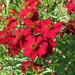 Coreopsis, Dwarf Plains Red (pack)