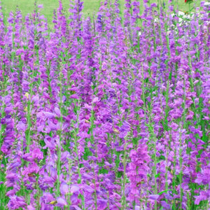 Penstemon, Rocky Mountain (pack)