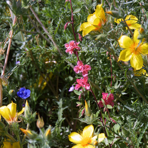 Southwest Native Wildflower Mix (1/4 lb)