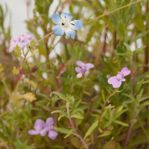 California Low-Growing Wildflower Mix (pack)