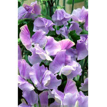 Load image into Gallery viewer, Renee's Garden Exhibition Sweet Pea, Blue Celeste (Heirloom)