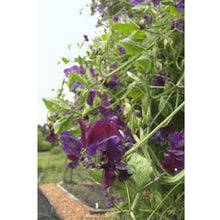 Load image into Gallery viewer, Renee's Garden Exhibition Sweet Pea, North Shore