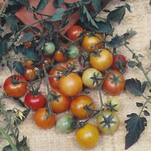 Load image into Gallery viewer, Organic Cherry Tomato, Bi-color