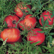 Load image into Gallery viewer, Organic Tomato, Silvery Fir Tree (1 oz)