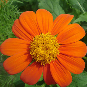 Mexican Sunflower (pack)