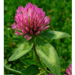 Organic Red Clover - Raw Seed (Lb)