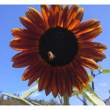 Load image into Gallery viewer, Organic Sunflower, Velvet Queen (pack)