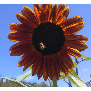 Organic Sunflower, Velvet Queen (pack)