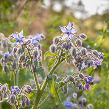 Load image into Gallery viewer, Organic Borage (1/4 lb)
