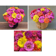 Load image into Gallery viewer, Renee's Garden Double Cutting Zinnia, Cabaret