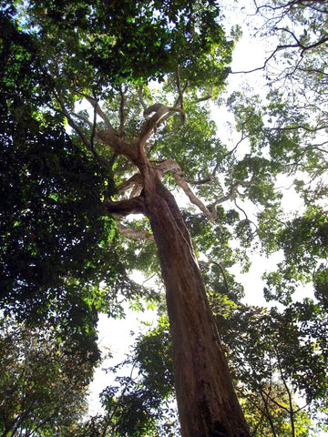 Almacega tree in the Amazon rainforest.
