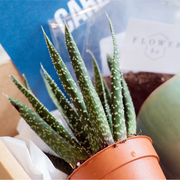 Plant your own Aloe