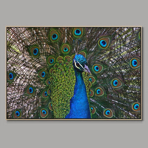 Peacock plumage Framed Canvas