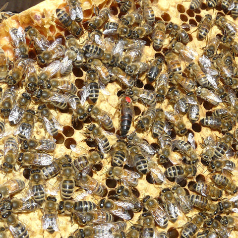 2020 Queens - Dickey Bee Honey Stock available June & July
