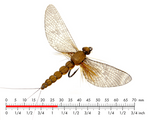 J:SON REALISTIC MAYFLY SPENT 1 #10