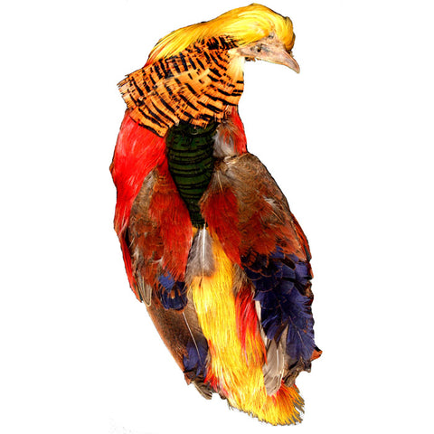 Golden Pheasant Head and Body