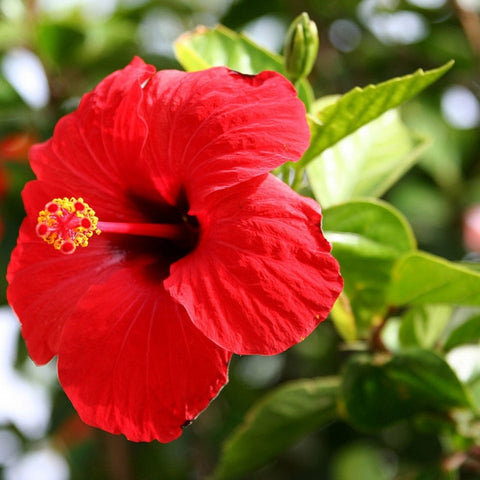 Hibiscus Extract Personality SkinCare
