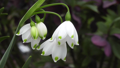 Celebrate Your Birthday with Your Birth Flower Jewelry——January Snowdrop