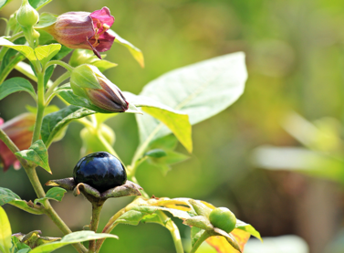 Belladonna plant growing