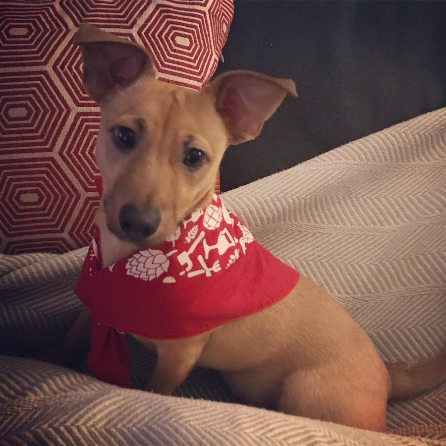 small brown dog sporting the red bandana around his neck