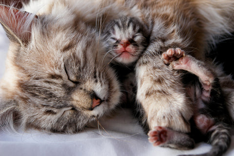 Mother cat with kitten
