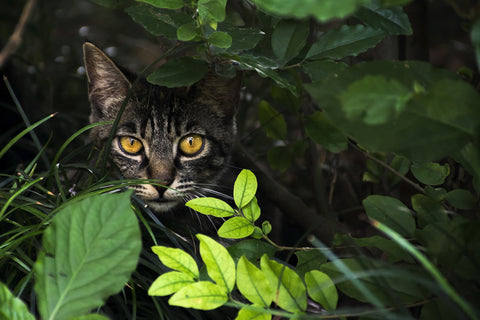 Cat stalking from bushes