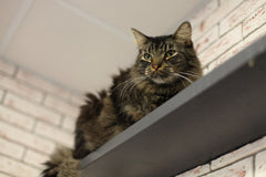 Cat on high shelf