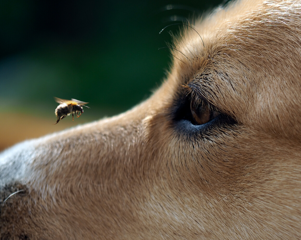 What to do if Your Dog is Stung by a Bee