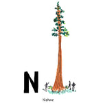 N is for Nature. The redwood is California's state tree. The largest living tree is in the Sequoia National Park with a trunk measuring 102 feet around. Some are recorded to be over 2,000 years old.