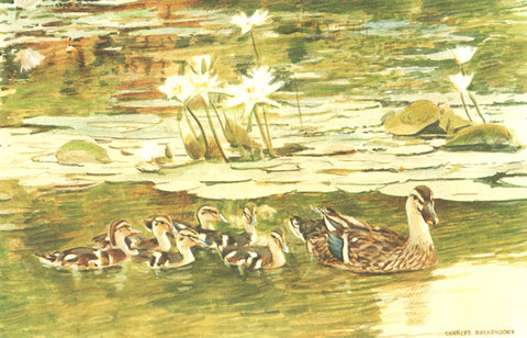 I - 37  Mallard Hen and Ducklings