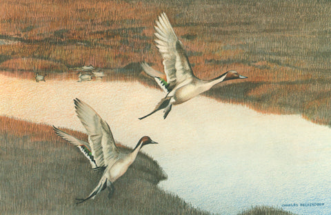 I - 35  Pintails