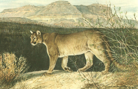 I - 5  Mountain Lion (Puma)