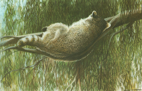 I - 40  Sleeping Raccoon