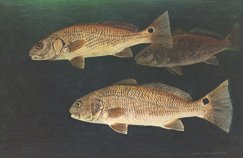 I - 81  Red Drum