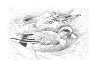 American Widgeon B&W
