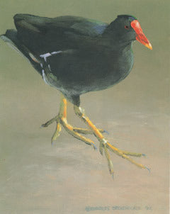 V-66 Common Gallinule (Marsh Hen)