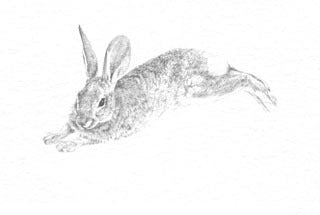 Desert Cottontail B&W