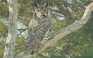 H-49  Great Horned Owl (in tree)