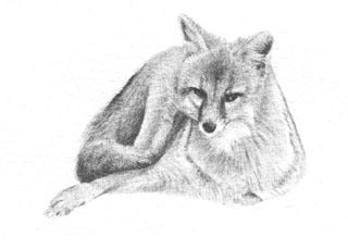 Gray Fox B&W