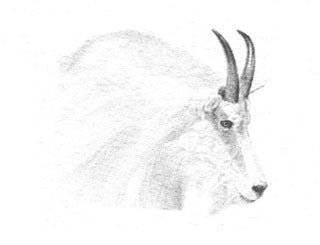 Mountain Goat B&W