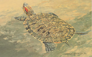H-68  Red Eared Slider