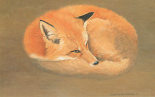 H-40  Red Fox (curled up)
