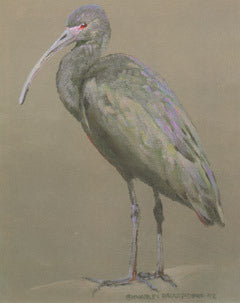 V-69  White Faced Glossy Ibis